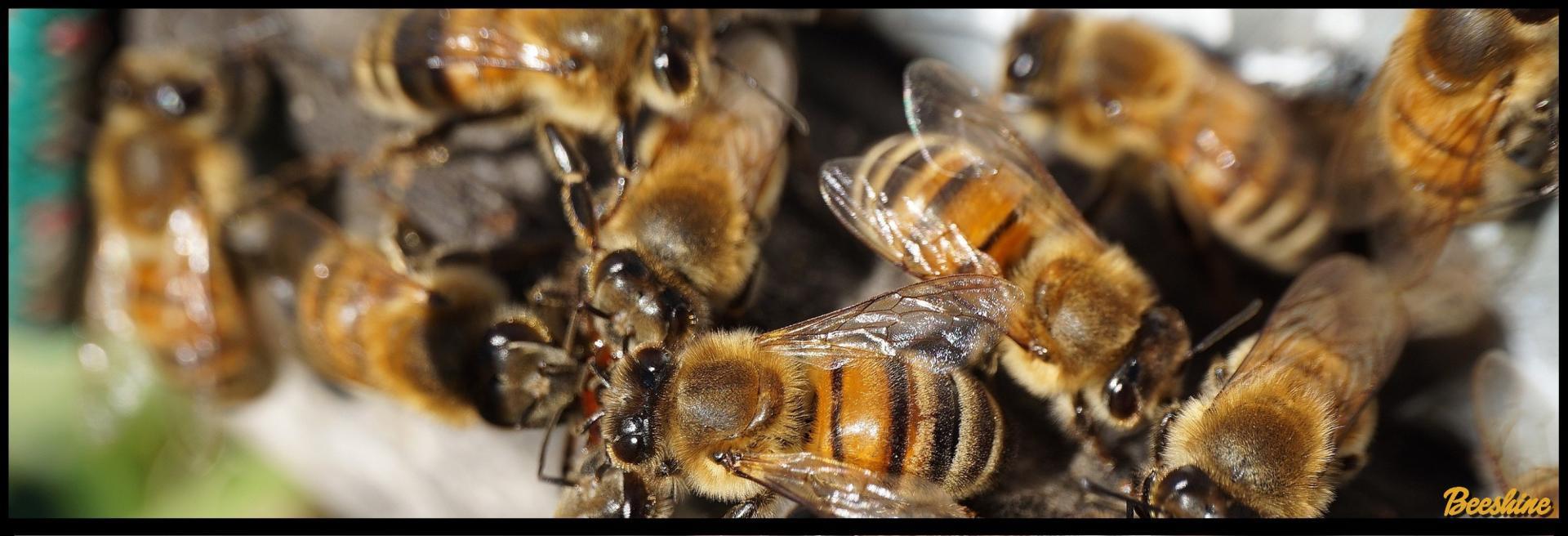 Beeshine -Aliment complémentaire pour abeilles